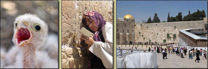 Photos to illustrate this article: a baby kestrel, a woman at the Wailing Wall, the Mosque of Omar rising above the Western Wall